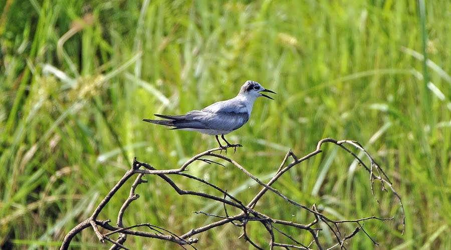 Burullus Lake Bird Watching