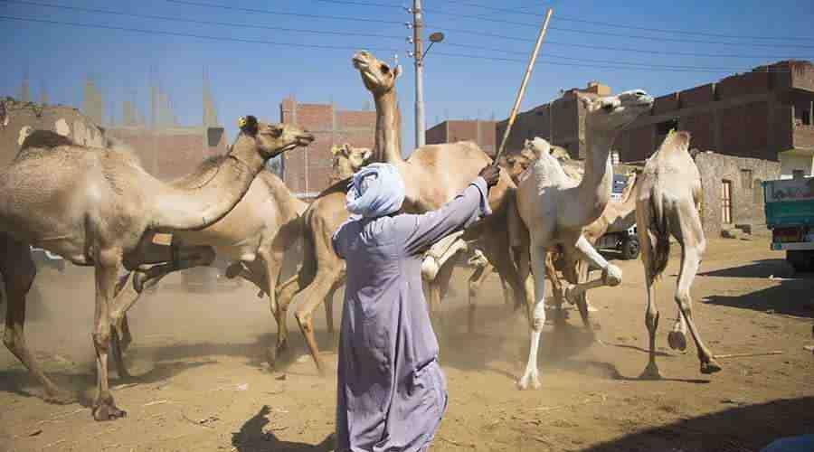 Daraw Camel Market tour
