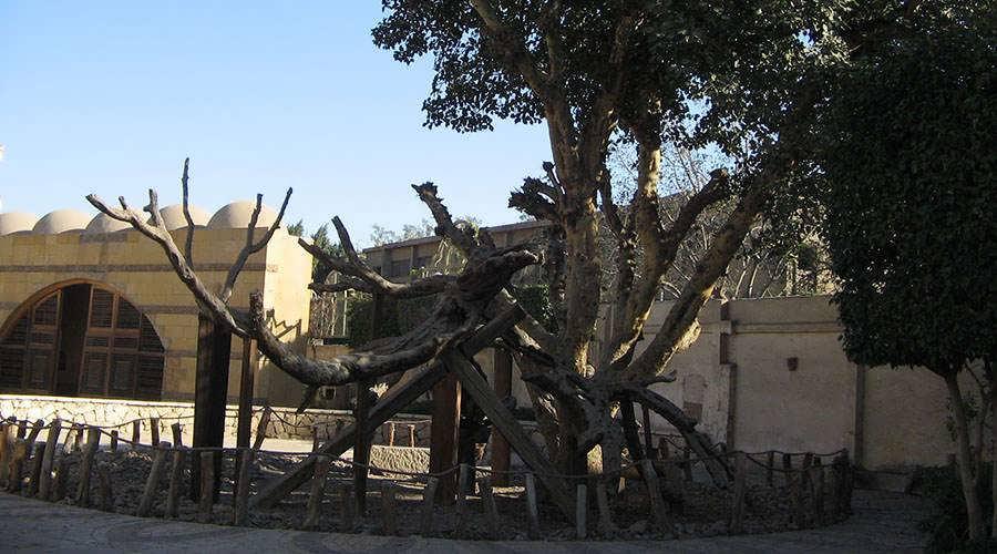 Virgin Mary Tree Cairo